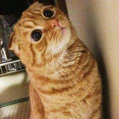 ・ べびココたむ🐈💞 ・ この頃は可愛いかったぁ〜😻💕 ・ こんなこと言ったら、今は可愛くにゃいのか〜😾‼︎💦 ・ って怒られちゃうね〜😹❣️ ・ #scottishfold#ネコ#猫#愛猫#cat#スコティッシュフォールド#折れ耳#cats#catsofinstagram #instacat #ilovemycat #mycat #catlove #ペット依存#고양이#cat#animal#bestmeow#ペコねこ部#にゃんだふるらいふ#スコ#スコ座り#スコ部#kitty#レッドタビー#ふわもこ部#にゃんこ
