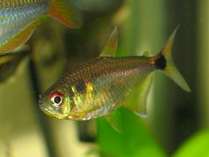 Beacon Tetra / Head and Tail Light Tetra (Hemigrammus Occelifer) - Adult size: 2 inches. Origin: South America