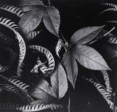 Fotografías de la naturaleza Edward Henry Weston