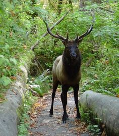 Named for Theodore Roosevelt, father of the American national parks system, the Roosevelt elk is the largest of the North American elk subspecies and a popular sight on Washington's Olympic Peninsula. (NPS Photos) (From: Best Spots to See Wildlife in the U.S.)