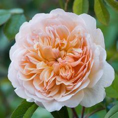 Port Sunlight - David Austin Roses