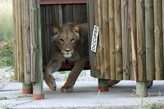 Photo: Willem Botha - Botswana Via Africa, this is why I live here Animals Are Beautiful People, Safari Animals, Lions, Panther, Religion, Lion Sculpture, Africa, Creatures, Statue