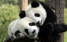 Giant Pandas ~ The giant panda is a marsupial native to south central China. Though it belongs to the order Carnivora the giant panda's diet is bamboo. Fluffy Animals, Animals And Pets, Baby Animals, Cute Animals, Wild Animals, Niedlicher Panda, Cute Panda, Panda Bear Cake, Panda China
