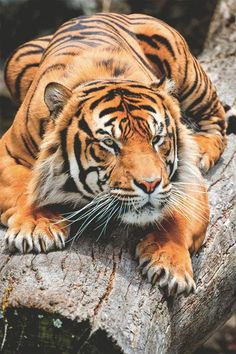 A crouching tiger ready to pounce on his unfortunate prey somewhere in the jungle. Big Cats, Cool Cats, Cats And Kittens, Nature Animals, Animals And Pets, Cute Animals, Wild Animals, Easy Animals, Beautiful Cats