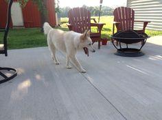 Daisy my White border Collie