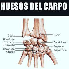 En anatomía, el carpo es una parte del cuerpo humano compuesta por ocho huesos que forman el esqueleto de la muñeca. Se disponen en dos filas: proximal y distal.  Los huesos de la hilera proximal, de meñique a pulgar (del medial hacia el lateral), son:  hueso pisiforme, hueso piramidal, hueso semilunar y hueso escafoides. Los de la hilera distal, en el mismo orden, son:  hueso ganchoso, hueso grande, hueso trapezoide y hueso trapecio;