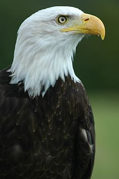 Decorah Eagles Live on #Ustream