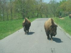 Bison approaching the car; we backed up.  South Dakota