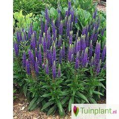 Ereprijs (Veronica spicata 'Blue')
