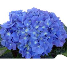 Just bought a potted hydrangea like this - pretty :)