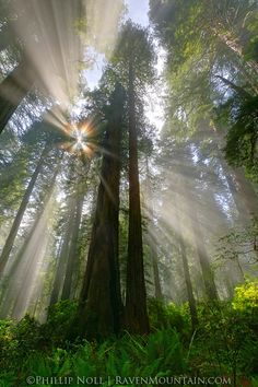 CA,California,Damnation Creek Trail,Redwood National and State Parks,Light Beams,Redwood, photo