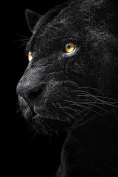 Black jaguar. #animals black jaguar