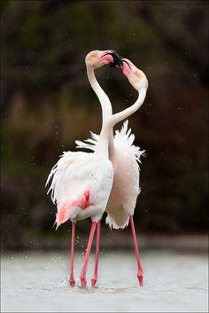 ~~greater flamingo (Phoenicopterus roseus)~~