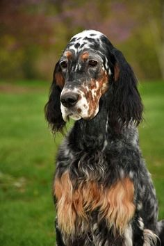 for bench, field and just darn good companions!-… for bench, field and just darn good companions! … for bench, field and just darn good companions! Big Dogs, I Love Dogs, Cute Dogs, Beautiful Dogs, Animals Beautiful, English Setter Puppies, Irish Setter Dogs, Animals And Pets, Pets