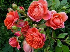 My Garden social network. Share photos, ask questions and discuss any topics - My Garden Amazing Flowers, Beautiful Roses, Claire Austin Rose, David Austin Rosen, Cottage Garden Plants, Garden Roses, Rose Varieties, Summer Songs, Fishing