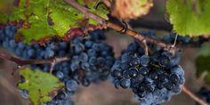 À la redécouverte d'anciens cépages, trésors du passé et avenir de la viticulture