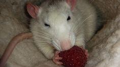 It's raspberry time! #aww #cute #rat #cuterats #ratsofpinterest #cuddle #fluffy #animals #pets #bestfriend #ittssofluffy #boopthesnoot