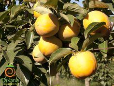 Kaki Rojo Brillante coltivati a Sessa Aurunca dalla Divano S.r.l. - Ottobre 2015. #divano #kakidivano #soledautunno   Info: 0823 406052 www.divanosrl.it