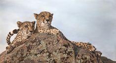 """Peace"" Original Framed Pastel Painting of two Cheetahs - Henriette van Staden Pastel Pencils, Cheetahs, Pastel Art, Wildlife Art, Tag Art, Pet Portraits, The Rock, Original Art, Africa"