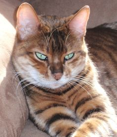 my favorite cat breed - The Toyger - (mini-tigers!), cross between domestic cat and tiger Pretty Cats, Beautiful Cats, Animals Beautiful, Beautiful Lines, Beautiful Images, Crazy Cats, I Love Cats, Cool Cats, Animal Gato