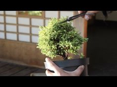 ▶ Bonsai Starter kit: How to make a Bonsai tree - YouTube