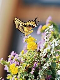 Butterflies love lantanas!