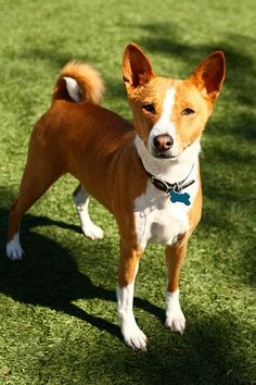 awesome Basenji pictures photos
