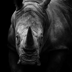 Black Rhino By Adam McGrath On Px Pinteres - Breathtaking black and white animal portraits by lukas holas