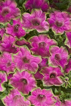 Be sure to bring Supertunia® Picasso in Pink home from the garden center this spring--the pink blooms edged with a light green will be beautiful all season long in containers or at the front of the landscape. www.emfl.us/DeId #ProvenWinners
