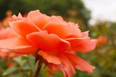 Peach Rose.  At Lake Harriet Minneapolis.
