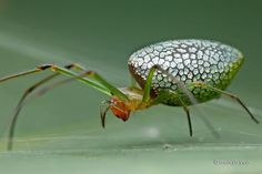 Sliver plated long-jawed orb weaver spider. (Photo: Melvyn Yeo)