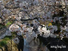 京都 哲学の道 桜 2014/04/02
