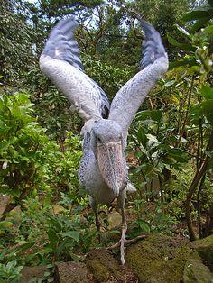 Balaeniceps rex / Picozapato / Shoebill / Bec en sabot du Nil / Schuhschnabel