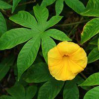 Yellow Hawaiian Flowers - Merremia tuberosa – Woodrose
