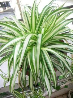Spider Plants are great indoor plants for removing carbon monoxide and other toxins. Spider plants are one of three plants NASA deems best at removing formaldehyde from air.