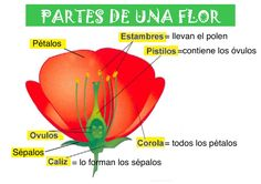 Foto: PARTES DE UNA FLOR