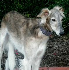 silken windhound photo | Dog profile for Zephyr, a male Silken Windhound/Silken Windhound