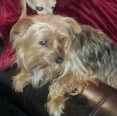 cookie is an adoptable Yorkshire Terrier Yorkie Dog in Oakland City, IN. Detail on each dog is indicated below. Adoption fees help cover all vetting for our adoptables and to help care for the them wh...