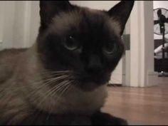Loud Siamese Cat Purr - Part 4 - Sienna's Loud Purr