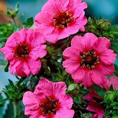 Potentilla Miss Willmott - Parkers Wholesale HP636: £5.50 for 10