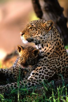 African Leopards - too cute!