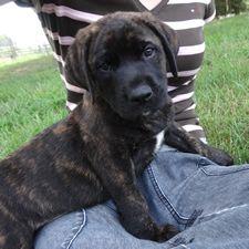 Mastador Mastador Dog, Cane Corso Mastiff, Warm Fuzzies, Girls Best Friend, Dog Pictures, Cute Puppies, Labrador Retriever, Cute Animals, Pets