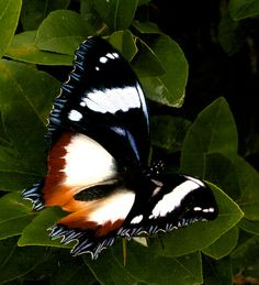˚Salamis Butterfly