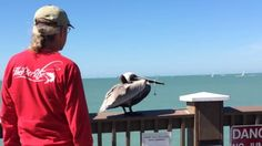 While he was walking on a pontoon in the city of Gulf Shores in Alabama, a man noticed that a pelican on a ramp was a fishing net wrapped around its beak. With the help of his friend, they decided to intervene! Approaching slowly the bird from behind, they are going to catch him by the legs during flight. It will then hold fast the bird while his friend takes away the beak fishing net. They will release the bird can again feed! #pelicanrescue