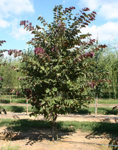 Forest Pansy Eastern Redbud Trees | Cercis canadensis Tree Pictures | Moon Nurseries