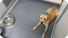 Labradors Retrievers L V 168 ☆ Amp Adopt On