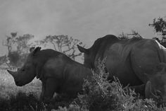 Although the official World Rhino Day was yesterday, the fight against poaching continues. Whisper, Safari, Wildlife, African, Horses, Sky, Explore, Landscape, World