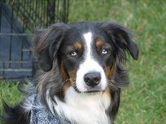 My Dog Jasper...Australian shepherd?  Border collie?