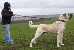 GOD's unbelievable miracle: Caucasian Ovcharka and Turkish Kangal Dog... - Page 3 - Paw Talk - Pet Forums