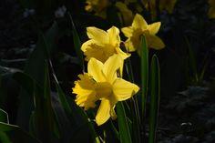 Tulppaanit ei vieläkään kuki otetaan siis narsissit